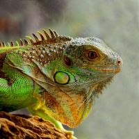 iguana by Fahrettinyuce