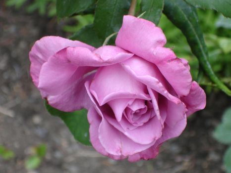 rose by freaks4all-stock