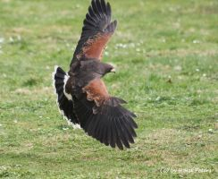 Wuestenbussard / Harris-Hawk by bluesgrass