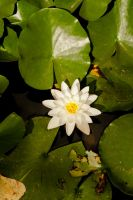 Blooming water lily by VelislavDichev