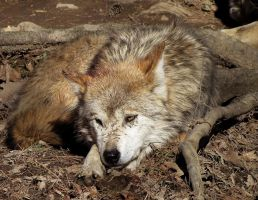 Mexican Wolf Stock 20 by HOTNStock