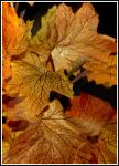 Fall 2 leaf Thanksgiving 14 0422 by Maggiesdaisy