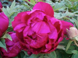 Fuschia Peony Blossom by Bwabbit