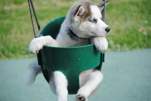 Swingsets and Huskeys by Evanescenceiscool