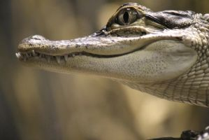 Alligator mississippiensis (American alligator) 1 by Buzzyerd