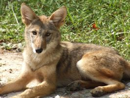 Red Wolf by FamedAnachronist