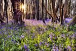 Evening Light, Bluebell Delight by Capturing-the-Light