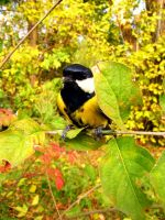 Great tit by andrew0807