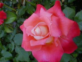 this is a male ROSE..lol by Nipntuck3