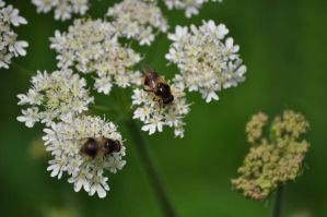 A Bee's Feast by rayrussell2000uk