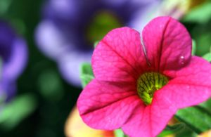 exotic pink by sumahli