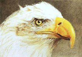 Bald Eagle study by Fishknots
