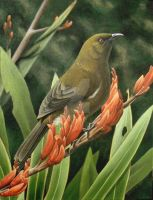 Bellbird with flax by Phils-natura