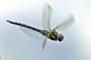 Migrant Hawker I. by quaddie