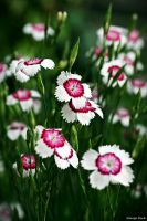 Dianthus Deltoides by George---Kirk