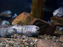Wolf Eel by blindtetra