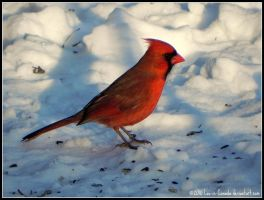 Cardinal Christmas 2010 by Lou-in-Canada