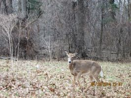Deer  i saw at ojibway pic 6 by catsvsfox