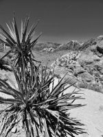 Mohave Yucca by ItsAlwaysRightNow