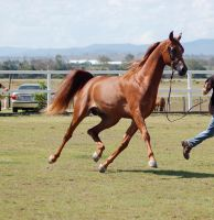 GE Arab chestnut big elevated trot frontside 3/4 by Chunga-Stock