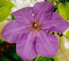 Clematis by Tinkrbel2469