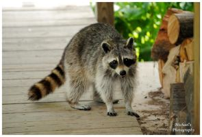 A Raccoon On My Porch by TheMan268