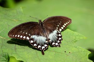 Pipevine Swallowtail by winterface