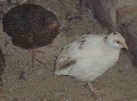 brown and alomst white ,quail. by only-Freak-by-nature