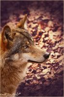 .:Autumn Beauty:. by WhiteSpiritWolf