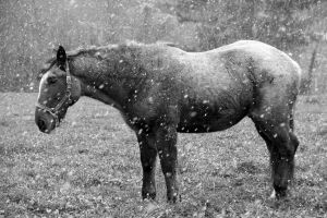 Snowy horse BW by lhauert