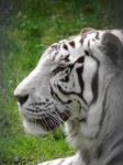 White tiger by JanuaryGuest