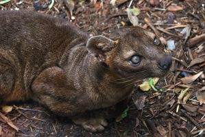 Fossa 0303 by robbobert