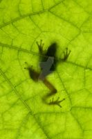 Tree Frog Silhouette by Spanishalex