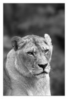 Lioness by ReneAigner