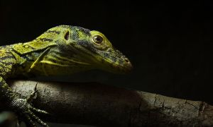 Komodo Dragon by seriousmadness