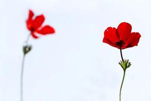 Red on White by victorchina