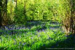 Bluebell Spring Beauty by Hitomii