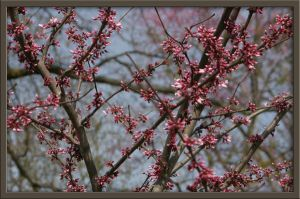 Clarkesville Cherry Blossoms by Deidreofthesorrows