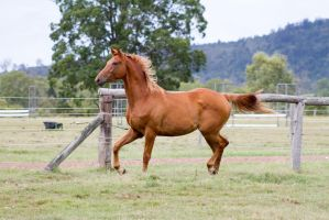 Dn WB head up mane flowing trot side view by Chunga-Stock