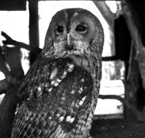 Tawny Owl by gee231205
