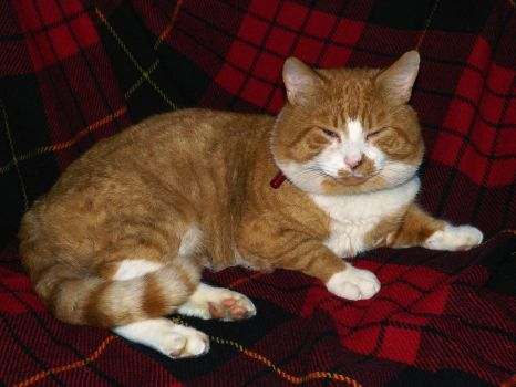 Ginger Tom on Tartan by WhiteWolfStock