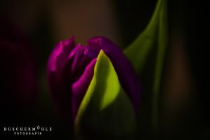 Tulips by buschermoehle-photo