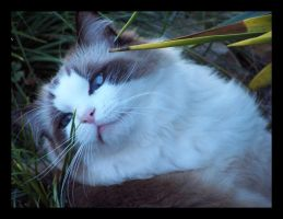 Reject - My Ragdoll Cat by Sfrost-photo-fic