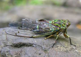 Cicada by Dominion-Photography