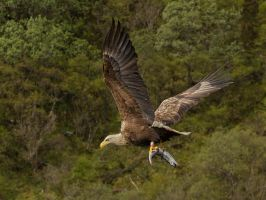 Supper sorted  - White-tailed sea-eagle by Jamie-MacArthur