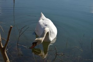 Reverence of swan for HEIDI137 by A1Z2E3R