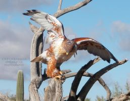Red Tail Hawk by keelan1234