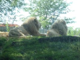 lions by Endeavor4ever