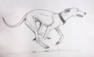 Running Whippet by Kqeina