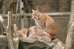Lynx Family by Fridooh